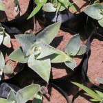 agave papalote