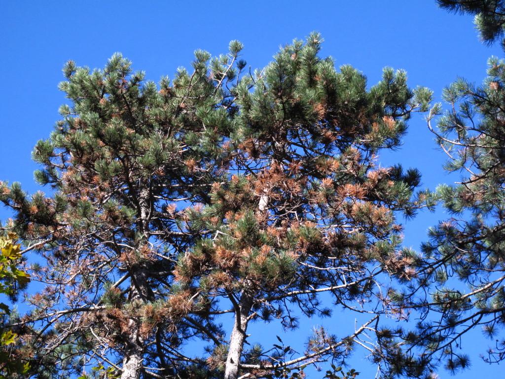 pino nero con disseccamento dei getti determinato dal fungo Sphaeropsis sapinea