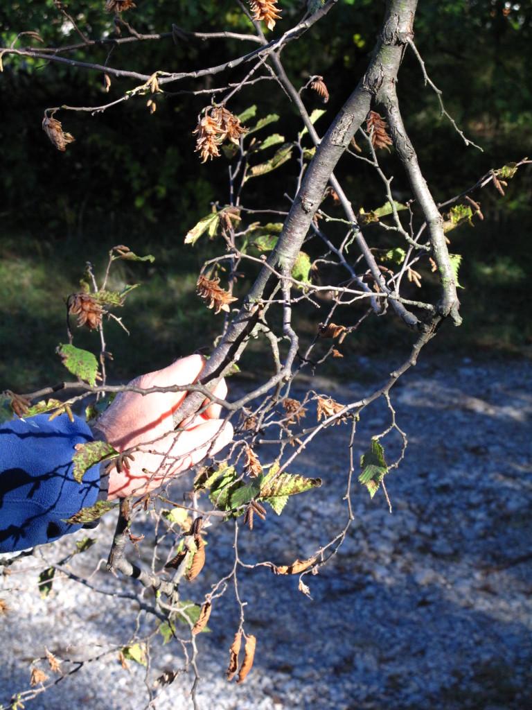 iperfruttificazione di carpino nero, indice di deperimento fisiologico