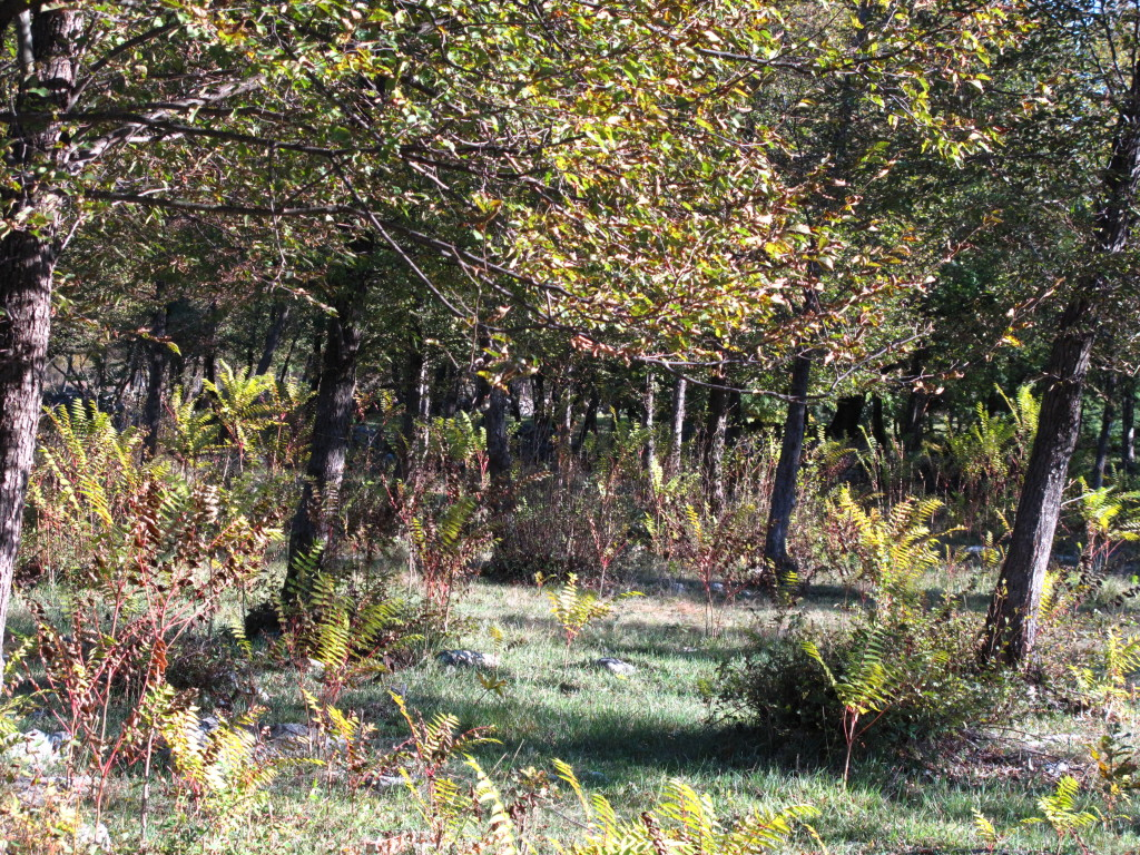 il diradamento del bosco può determinare la diffusione di ailanto (Ailanthus altissima), specie estremamente invasiva