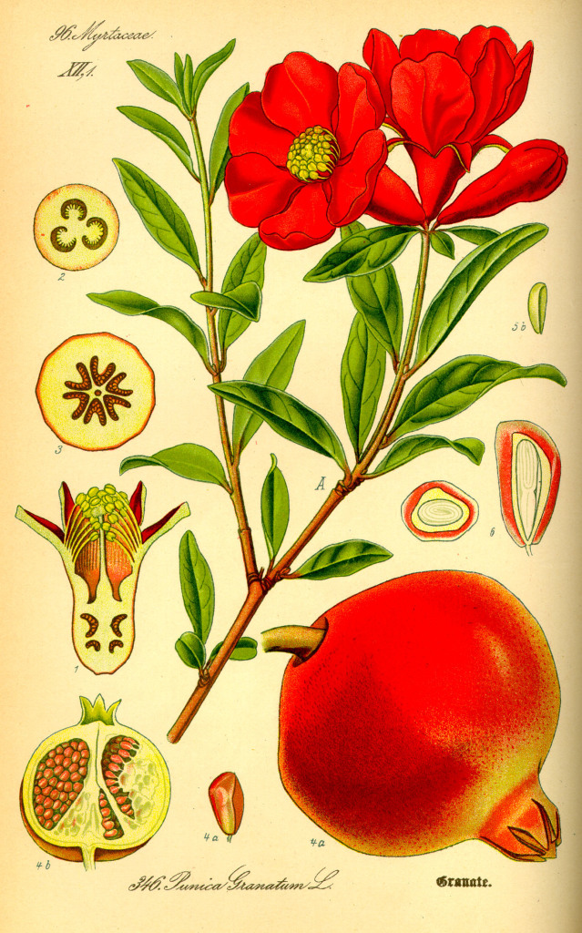 Punica granatum - Wikimedia Commons, Art Mechanic