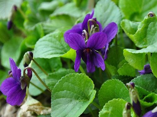 Erbe Violette