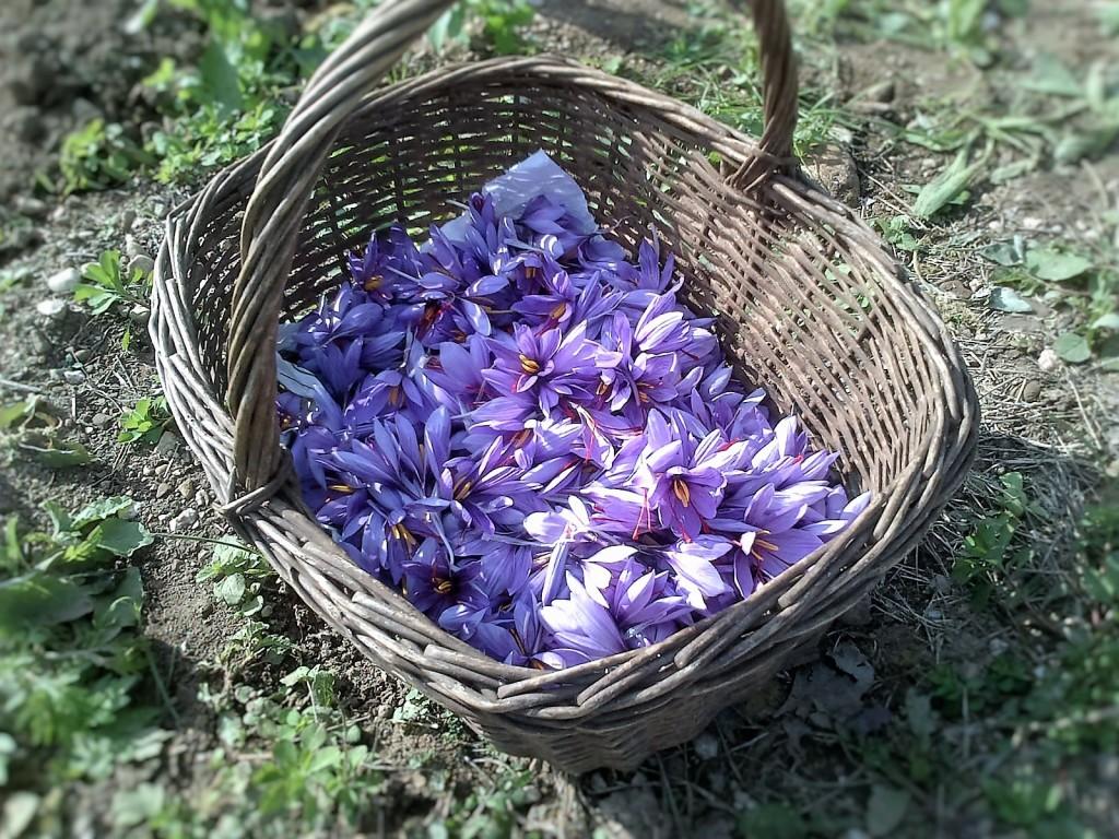 026-maga-spoezie_raccolta-fiori-zafferano_valeria_calamaro