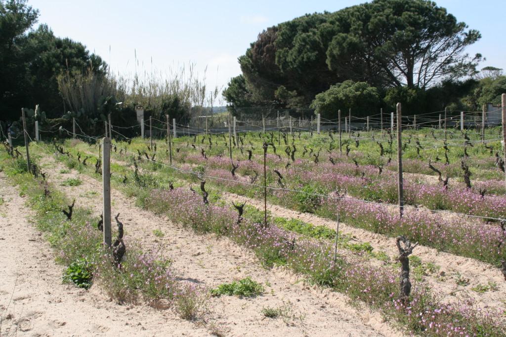 Sardegna, Isola di Sant'Antioco (località Cussorgia, Calasetta). Vigna su sabbia di Carignano del Sulcis franco di piede, a primavera. Foto L. Monasta