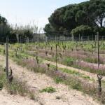 Sardegna, Isola di santi?antioco (località Cussorgia, Calasetta). Vigna di Carignano del Sulcis a primavera. Foto L. Monasta
